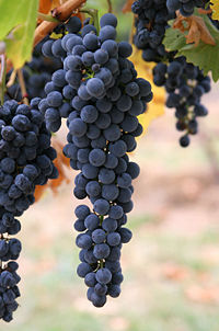Wine Grapes On Vine