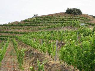 Terraced Vineyard at Mas Martinet